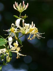 Honeysuckle bokeh (jump for joy2010) Tags: honeysuckle bokeh uk england somerset canadafarm shapwickheathnaturereserve woodland glade dappledsunlight june 2016 wildflower