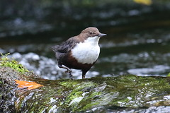 Bobbing about (Robin M Morrison) Tags: dipper lynmouth watersmeet exmoor