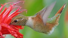 Hummingbird (photosauraus rex) Tags: bird animal hummingbird vancouver bc canada selasphorusrufus