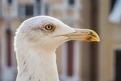 Venezia_03 (albertoluc) Tags: venezia venice rialto pontedirialto gabbiano seagull
