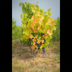 It's time to gather the grapes in Beaujolais (dominikfoto) Tags: brouilly raisin vendange vignes nature wine vines vine beaujolais grapes raison grappes