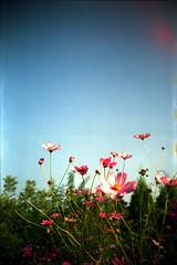 0012lca-kodak100-sp45-norm (Moryc Welt) Tags: kodacolor asa100 lomo lca flowers epsonv600 iscanforlinux gimp katowice poland europe expired tetenalsp45