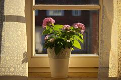 Morgensonne (sabine5235) Tags: sonne vorhang zimmer blten blmchen strahlen indoor aufwachen flower sunny curtain window ikea