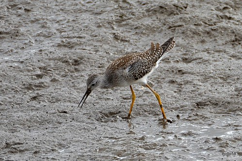 Lesser Yellowlegs - Fremington Quay 16-09-2016 14-57-34