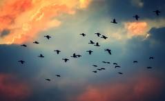 Flight of Geese (frankmh) Tags: bird goose flight sky hittarp skne sweden outdoor