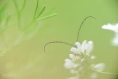 Le longicorne - The longhorn beetle (Solange B) Tags: longicorne longhornbeetle cerambycidae capricorne antenne antenna macro nikon d800 105mm solangeb solangebelon