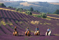 Randonnée équestre dans les Alpes de Haute-Provence (Gites de France 04) Tags: alpesdehauteprovence cheval gîtesdefrance horizontale lavande randonnéeéquestre