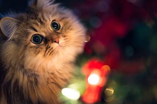 Daisy at the Christmas Tree (torode) christmas xmas decorations japan cat season tokyo kitten holidays bokeh blueeyes christmastree  2012