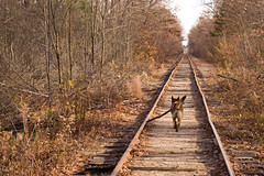 Out for a long walk... (DjD-567) Tags: railroad walk tracks sable stick germanshepherd nashua gsd
