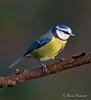 """BLUE TIT      """"Parus caeruleus""""  """"EXPLORE"""" (Trevsbirds) Tags: ngc freedomtosoarlevel1birdphotosonly freedomtosoarlevel1birdsonly"""