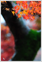 20121126_6571a_ (Redhat/) Tags: autumn fall japan temple maple kyoto redhat              sinnyodo