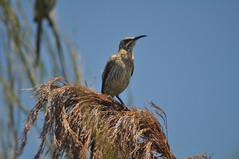 Cape Sugarbird (Promerops cafer) (Common Buzzard) Tags: birds southafrica capetown kirstenbosch passerines sugarbird