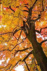 以楓遮陽 Cover The Sun / Kyoto, Japan (yameme) Tags: travel japan canon eos maple kyoto 京都 日本 kansai 旅行 關西 楓葉 kyotobotanicalgarden 京都府立植物園 24105mmlis 5d3 5dmarkiii