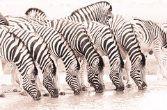 "Six Zebra drinking in Etosha National Park, Namibia • <a style=""font-size:0.8em;"" href=""https://www.flickr.com/photos/21540187@N07/8292846390/"" target=""_blank"">View on Flickr</a>"