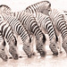 """Six Zebra drinking in Etosha National Park, Namibia • <a style=""""font-size:0.8em;"""" href=""""https://www.flickr.com/photos/21540187@N07/8292846390/"""" target=""""_blank"""">View on Flickr</a>"""