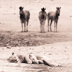 """Lions sleeping with Zebra watching in Etosha National Park, Namibia • <a style=""""font-size:0.8em;"""" href=""""https://www.flickr.com/photos/21540187@N07/8292871499/"""" target=""""_blank"""">View on Flickr</a>"""