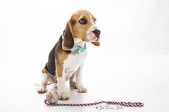 Meet Tex (Bill Davies (SA)) Tags: portrait dog pet beagle puppy studio whitebackground pup