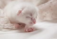 Milky kitten ♥ (木之本 Claudia) Tags: cat kitten kitty kawaii 猫 tenderness かわいい кошка 可愛い 白い котенок coth 子猫 bej 白猫 catmoments alittlebeauty hellopussycat coth5 milkykitten 白子猫