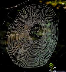 Spider Web (Performance Impressions LLC) Tags: usa spider photo unitedstates asheville web spiderweb picture northcarolina cobweb photograph backlit spidersilk