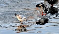 Mouette narcissique (Diegojack) Tags: eau lac oiseaux glace mouettes sauvabelin