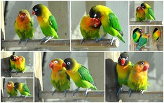 """Kiss me if you can"" by adorable lovebirds (Cloudwhisperer67) Tags: light black france color macro cute green bird eye art love me nature colors birds animal animals pose dark fun photography other nice kiss kissing funny colorful flickr gallery natural you sony great yawn adorable posing award parrot cybershot funky can vert ring if colored lovebirds masked lovely tease lovebird tone parrots each teasing multi flashy yawning agapornis artistique colorés perroquets inséparable yellowcollared masqué inséparables personatus cloudwhisperer flickraward masqués amusants flickrawardgallery hx9v dschx9v cloudwhisperer67"