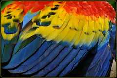Feathers of a Macaw (Stella Blu) Tags: bird mexico colorful feathers parrot caribbean macaw quintanaroo bigmomma nikkor18200 stellablu challengeyouwinner favescontestwinner thechallengefactory nikond5000 herowinner storybookwinner pregamewinner
