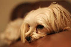 Symba (Explored) (Cna1_10) Tags: dog look hair small bored couch tired bloor insight