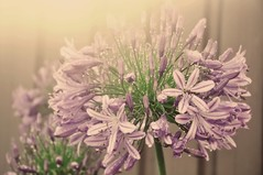 Agapanthus Purple Haze (missgeok) Tags: lighting pink flowers light macro nature colors beautiful rain closeup backlight composition droplets pretty colours dof purple bokeh details softness sydney creative australia depthoffield stunning raindrops mauve buds colourful delicate agapanthus nationalgeographic sunflare againstthesun colourtones bokehlicious nikond90 agapanthusbuds agapanthuspurplehaze