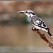 2706 - pied kingfisher