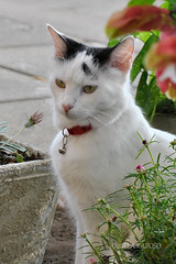 IN THE GARDEN (Angela Raposo) Tags: portrait pet nature animal cat retrato natureza gato jardim gata yoko animaldomstico nikond3000