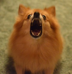Punkin barking (Erik Daniel Drost) Tags: favorite dog pet favorites pomeranian punkin