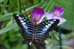 Blue Clipper butterfly (Parthenos sylvia) (acp009 -10K views) Tags: blue summer white black flower color macro nature closeup butterfly insect flora orchids lepidoptera malaysia nikkor clipper parthenossylvia butterflymacro d5100 penangbutterflypark nikond5100