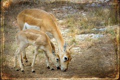 Female Blackbuck Antelope and Fawn (Passion4Nature) Tags: texas doe textures fawn antelope ie hillcountry blackbuckantelope specanimal moonseclipse memoriesbook tatot magicartoftextures magicuniverse artistictreasurefinest magicunicornverybest exoticimage kurtpeiser