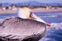 Just Chillen (JoeyBelloise) Tags: ocean california sea blackandwhite sexy bird sports girl beautiful sex crazy interesting surf waves action surfer gull pelican teen drugs sexual southerncalifornia huntingtonbeach rockandroll highspeed iphone thewonderfulworldofbirds joeybelloise