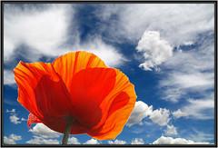 Bleu...Blanc....Blue... White.... (diaph76) Tags: flowers blue red sky white colors clouds fleurs rouge couleurs bleu ciel poppy nuages flickrdiamond coqulicot me2youphotographylevel2 me2youphotographylevel3 me2youphotographylevel1