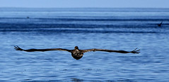 Galapagos - Panga ride - Graceful seabird (sweetpeapolly2012) Tags: