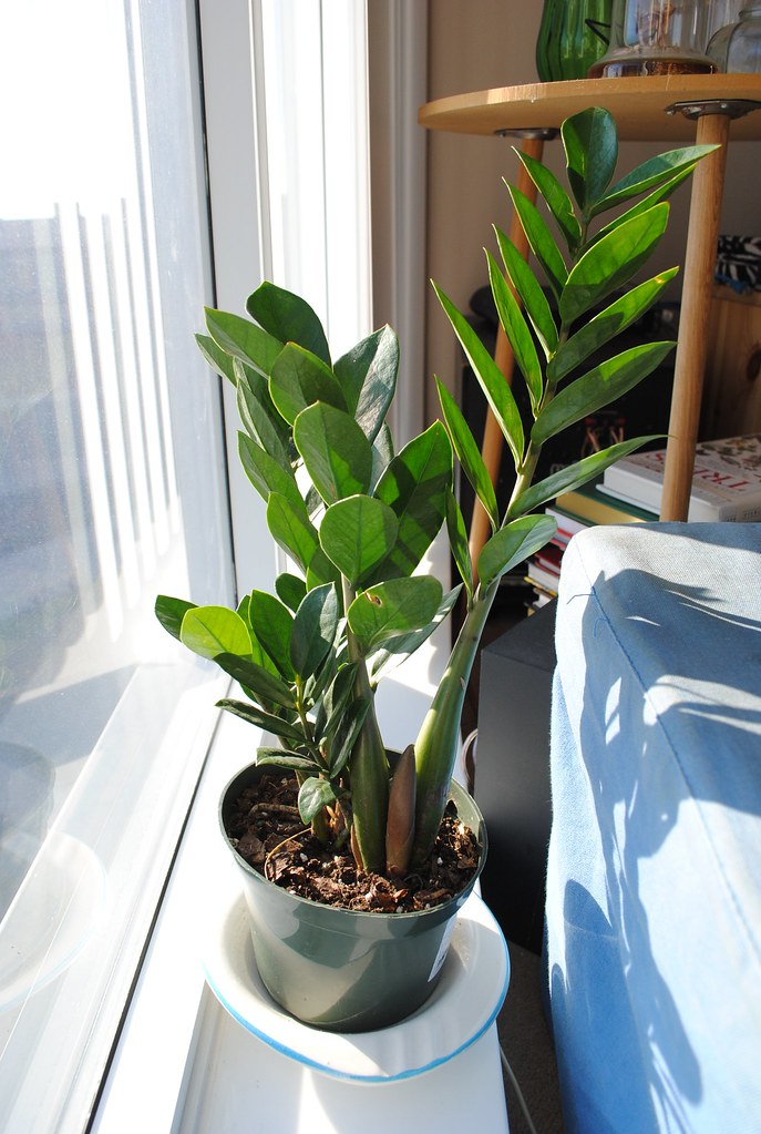 The world 39 s best photos of zamioculcas flickr hive mind for Plante zamioculcas