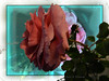 A winter rose (gailpiland) Tags: pink winter flower texture rose photoshop photo soe thegalaxy flickraward theunforgettablepictures theperfectphotographer flickrestrellas thebestofday gailpiland ringexcellence flickrstruereflection1 rememberthatmomentlevel1 rememberthatmomentl1