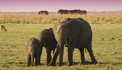 Elephant family (michaelbaynes87) Tags: africa family elephant animal safari botswana chobe chobenationalpark blinkagain