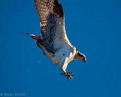 Going In For the Kill (Forget Me Knott Photography) Tags: sky bird fly flying wings fishing nest hunting flight attack landing raptor prey osprey sanjoaquin talons brianknott forgetmeknottphotography fmkphoto