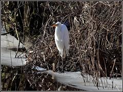 Grote Zilverreiger (pietplaat) Tags: vogels grotezilverreiger pietplaat