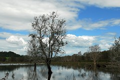 Casuarina glauca,Tuckean Swamp (dustaway) Tags: plants nature water reflections countryside scenery flood australia nsw wetlands casuarina casuarinaglauca casuarinaceae northernrivers australiantrees swampoak guman