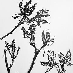 """Last summer's burst Rose of Sharon seed pods. #sketch #sketchbook #botanical • <a style=""""font-size:0.8em;"""" href=""""https://www.flickr.com/photos/61640076@N04/8437756658/"""" target=""""_blank"""">View on Flickr</a>"""