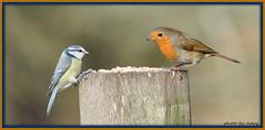 Table for 2 (maryimackins) Tags: uk blue robin birds table tit eating wildlife mary mackins