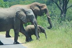 Kruger Park. South Africa/frica do Sul. Feb/2013 (EBoechat) Tags: elephant southafrica eagle lion zebra hippo lioness leo girafa krugerpark elefante rino leoa hiena guia giraff fricadosul feb2013