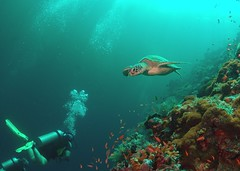 Swimming turtle (gillybooze (David)) Tags: madaleundewaterimages ©allrightsreserved turtle sea sipadan malaysia water underwater diver coral fish sponges reef snellswindow