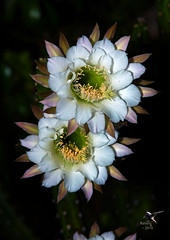 Desert Night-blooming Cereus (Cereus greggii) 001 (thePhotographerRaVen) Tags: desert night blooming cereus cereusgreggii greggii tucson arizona cactus photosbyraven