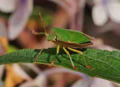 green (Hugo von Schreck) Tags: hugovonschreck bug wanze macro makro insect insekt green grnestinkwanze palomenaprasina canoneos5dsr tamron28300mmf3563divcpzda010 yourbestoftoday onlythebestofnature