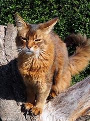 Summer sun - for Happy Caturday (Finn Frode (DK)) Tags: cats garden treestump sunshine summer rags dusharatattersandrags somali somalicat som olympus omdem5 denmark animal pet cat outdoor happycaturday