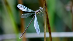 Damsel (shutterbusterbob) Tags: damselfly dragonfly damsel bug insect wild wildlife wings wing brown nature northwestwashington washington washingtonstate wetland pacificnorthwest skagitcounty skagitvalley sedrowoolley northernstaterecreationalarea canon canoneos canoneos70d canon70d eos eos70d eoscanon 70d outdoors outdoor outside eyes